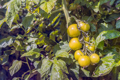 Slowly the hydroponically cultivated tomatoes are coloring red Stock Image