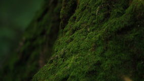 Slowly Moving Along The Trunk Of The Tree Overgrown With Moss stock video footage