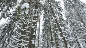 Slowly panning up on pine trees in mountain forest. Covered with snow stock video footage
