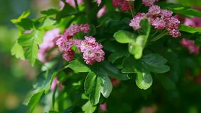 Slowly, shrubs with pink flowers swing in the wind.  stock video