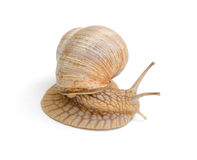 Slowly snail Stock Photography