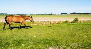 Slowly walking brown horse on a sunny day Stock Image