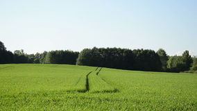 Slowly in the wind swings grain crop tractor traces of a crop stock footage