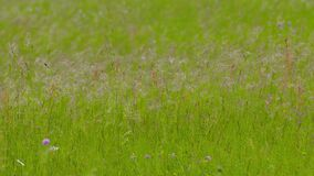 Slowmotion of long grass mowing on wind at meadow in summer