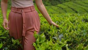 Slowmotion strzał młodej kobiety odwiedzać średniogórze herbaciane plantacje Świeży, herbaciany pojęcie, zbiory