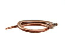Slowworm Stock Image