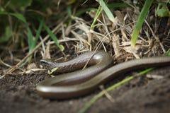 Slowworm Стоковое Изображение RF