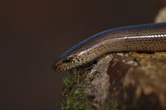 Slowworm, Anguis fragilis Royalty Free Stock Photo