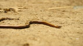 Slowworm (Anguis fragilis or blindworm) is slowly moving on ground stock video footage