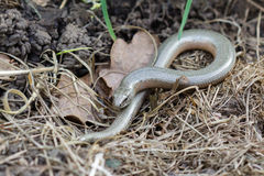 Slowworm (Anguis zerbrechlich) Lizenzfreie Stockfotos