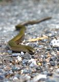 Slowworm on the road Royalty Free Stock Images