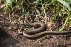 Slowworms Стоковое Фото