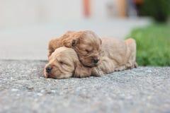 2 slpeeping spaniels Стоковое Изображение RF