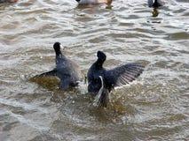 slåss för fåglar Fotografering för Bildbyråer