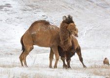 slåss för kamel Arkivbild