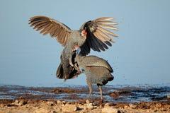 Slåss helmeted guineafowl Fotografering för Bildbyråer