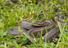 Släta ormen i gräset Arkivbilder
