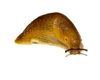Slug Royalty Free Stock Image