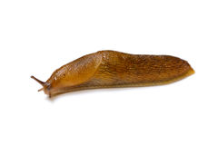 Slug. The slowest animal. It creeps on a white background royalty free stock photo
