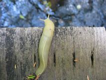 Slug. On a foot bridge in Oregon Royalty Free Stock Image