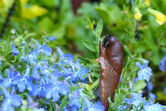 Slug Royalty Free Stock Photo