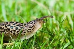 Slug Royalty Free Stock Photography