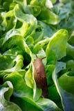 Slug amaldiçoado Fotos de Stock