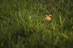 Slug on apple stock image