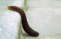Slug climbing Royalty Free Stock Photos