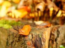 Slug close-up Royalty Free Stock Photo