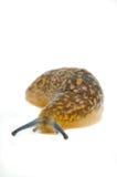 Slug comum do jardim Fotos de Stock Royalty Free