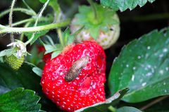 A slug crawls over an eaten strawberry.  Stock Images