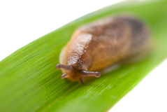Slug creeps on a grass Stock Photo