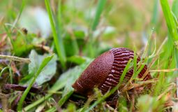 A slug curled up in a ball for protection royalty free stock photos