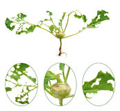 Slug damage of green kohlrabi Stock Photo