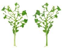 Slug damage of green kohlrabi leaf. Isolated Stock Photography