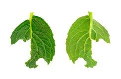 Slug damage of Hydrangea macrophylla leaf. Isolated Royalty Free Stock Image