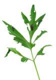 Slug damage of Rudbeckia laciniata leaf Stock Photography
