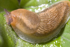 Slug, Dusky Arion Stock Images