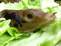Slug Eating Lettuce Greens Royalty Free Stock Photography