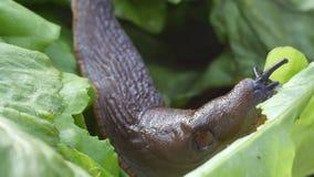 Slug eats salad stock footage