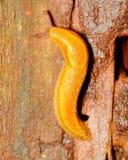 Slug. A garden Slug crawling along a tree trunk Stock Photography