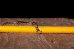 Slug on a Garden Hose. A large leopard slug travels along a yellow garden hose on an old wooden deck with an back background royalty free stock photo