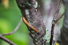 A slug glides over the bark of a lichen covered tree in the forest. Stock Image