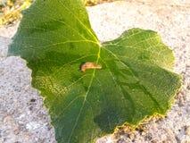 Slug on green leaf Royalty Free Stock Images