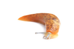 Slug isolated on white Royalty Free Stock Images
