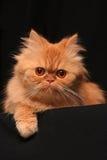slug katt Royaltyfri Bild