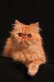 slug katt Royaltyfria Bilder
