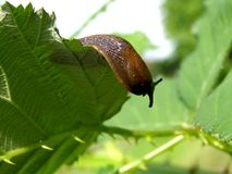 Slug on the leaf. Detil photo texture of slug on the leaf background stock photos