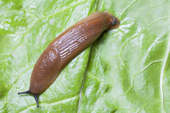 Slug on leaves close up Royalty Free Stock Photos
